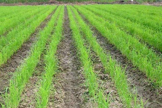 افزایش فراوری 25درصدی برنج درجه یک کشور در گیلان