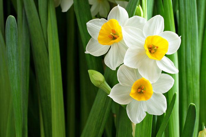 گالری عکس گل نرگس؛ 32 گل زیبا برای پروفایل و بک گراند موبایل