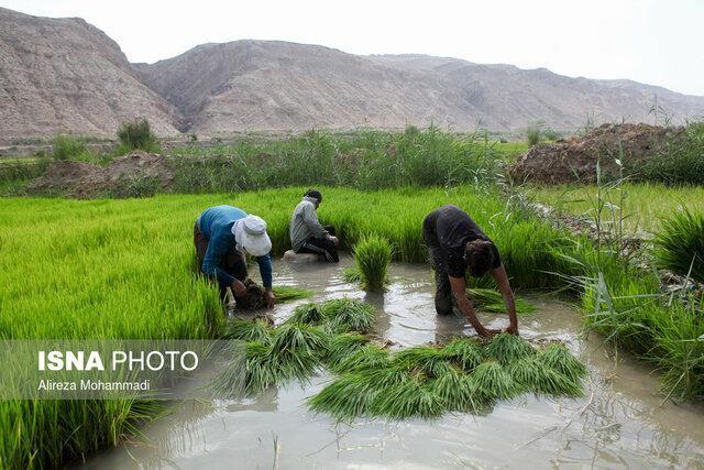 شاعری: قیمت خرید توافقی برنج هر چه سریع تر اعلام شود