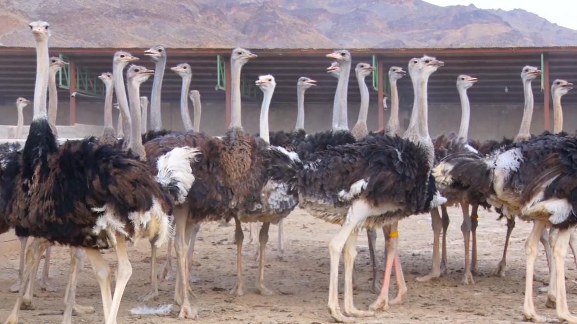 همدان با 14 واحد پرورش شترمرغ جزو 5 استان برتر در پرورش شترمرغ