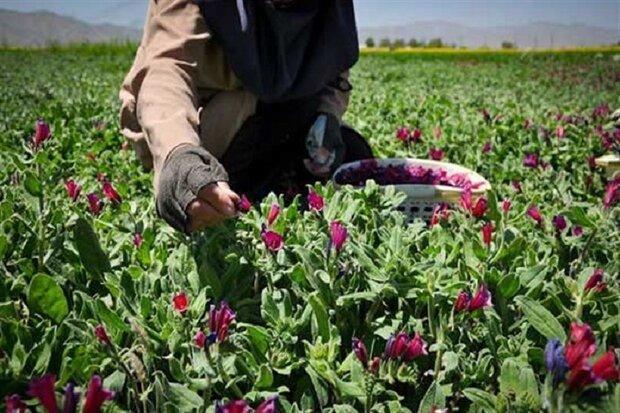 کشت گیاهان دارویی در 30 هکتار از زمین های تحقیقاتی دانشگاه آزاد فارسان