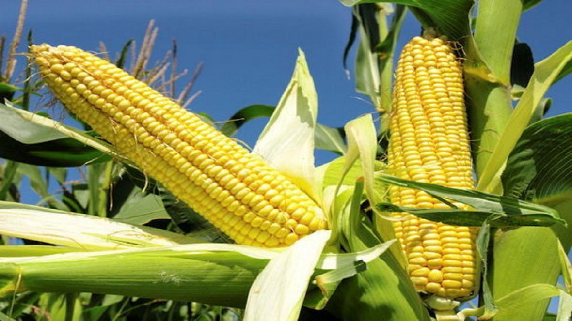 استفاده از روش های نوین کشاورزی در فراوری بذر های هیبریدی