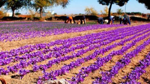 اعتراض کشاورزان به جولان دلالان و خرید ارزان زعفران