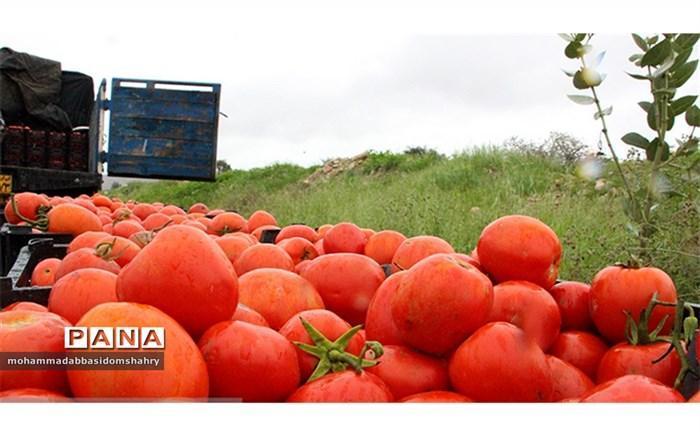شروع توزیع گوجه فرنگی در میادین میوه و تره بار
