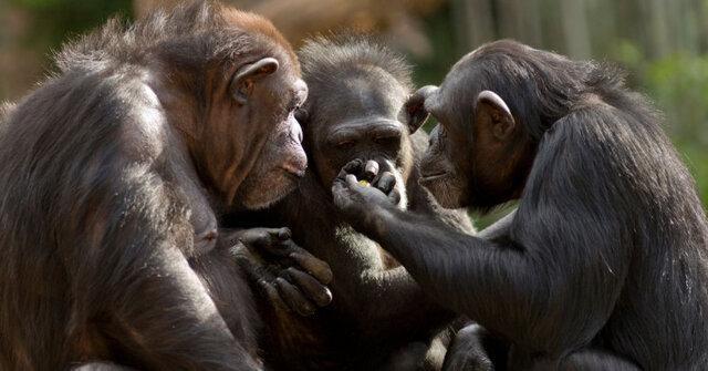 شامپانزه های مسن دوستان واقعی خود را گزینش می نمایند