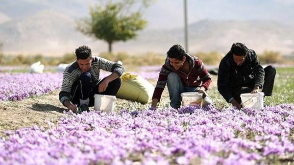 کاهش 900 دلاری ارزش زعفران ایرانی طی دو سال گذشته