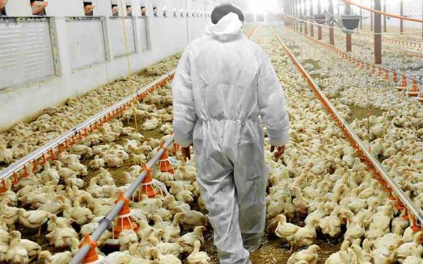 قطع برق،مرغ و تخم مرغ را گران کرد!، مرغداران گازوئیل قاچاق می خرند